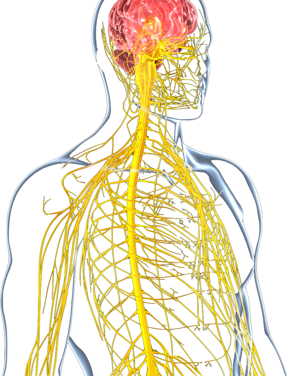 Schön Die Abteilungen Des Nervensystems Fotos - Anatomie Von ...